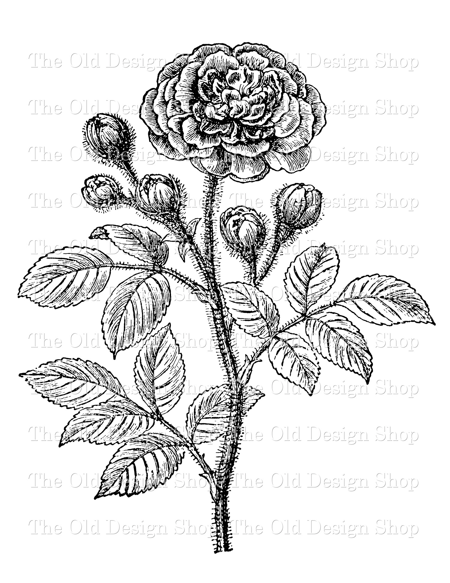 moss rose digital stamp transfer image clip art