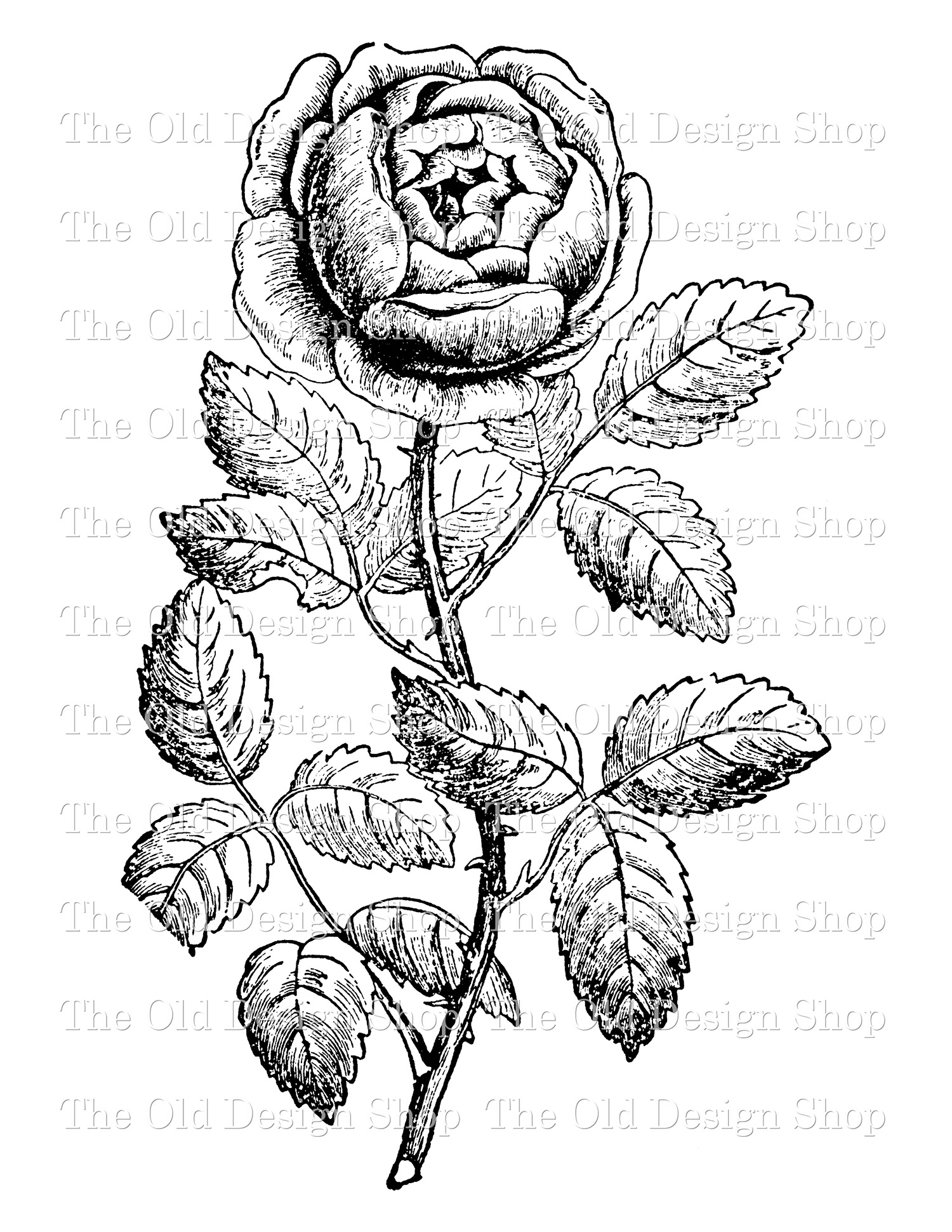tea rose digital stamp transfer image clip art