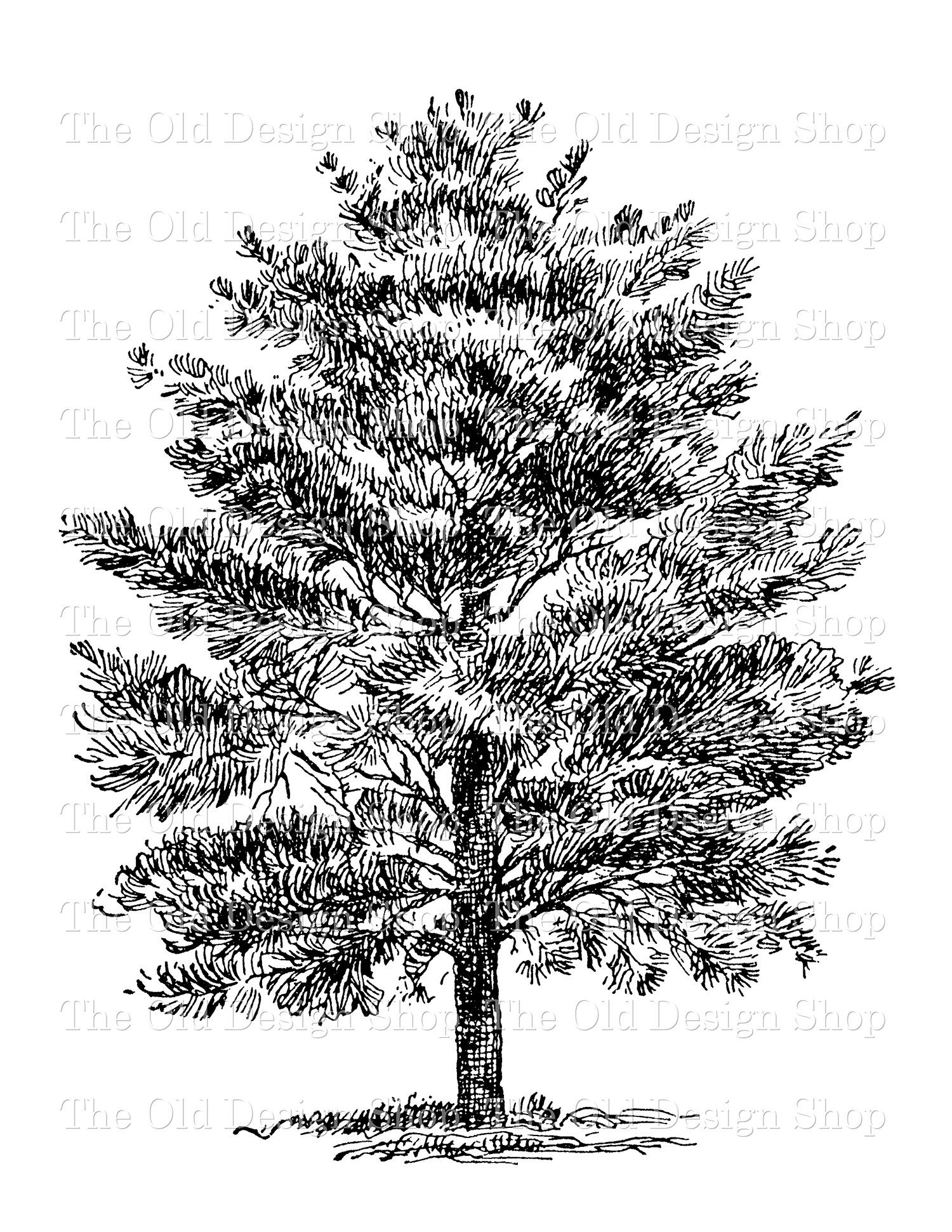 digital stamp transfer image white pine tree