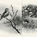 free printable song sparrow in spring vintage bird illustration