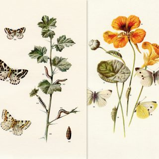 Free printable butterflies and moths vintage illustration