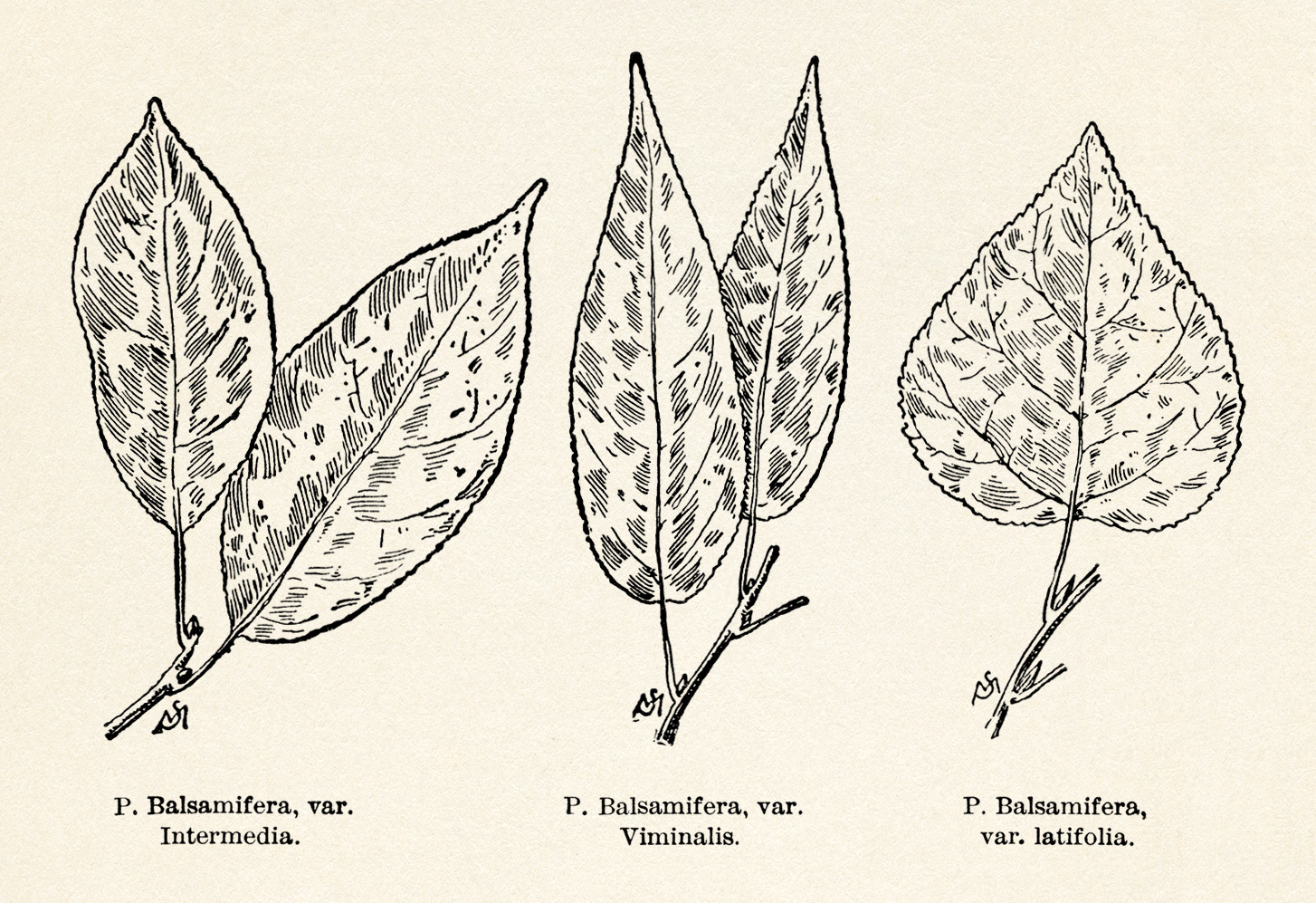 clip art leaf vintage illustrations