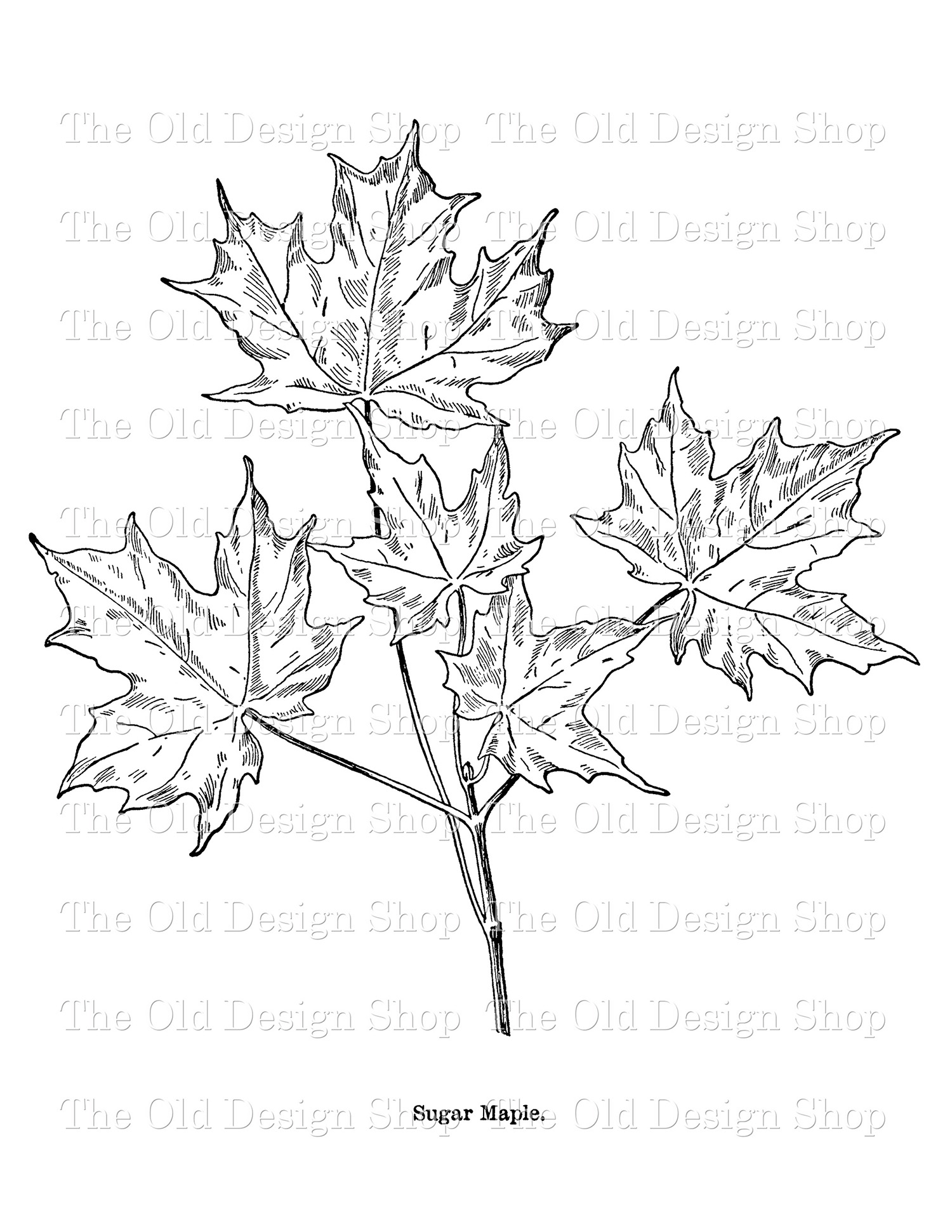 sugar maple leaf clip art
