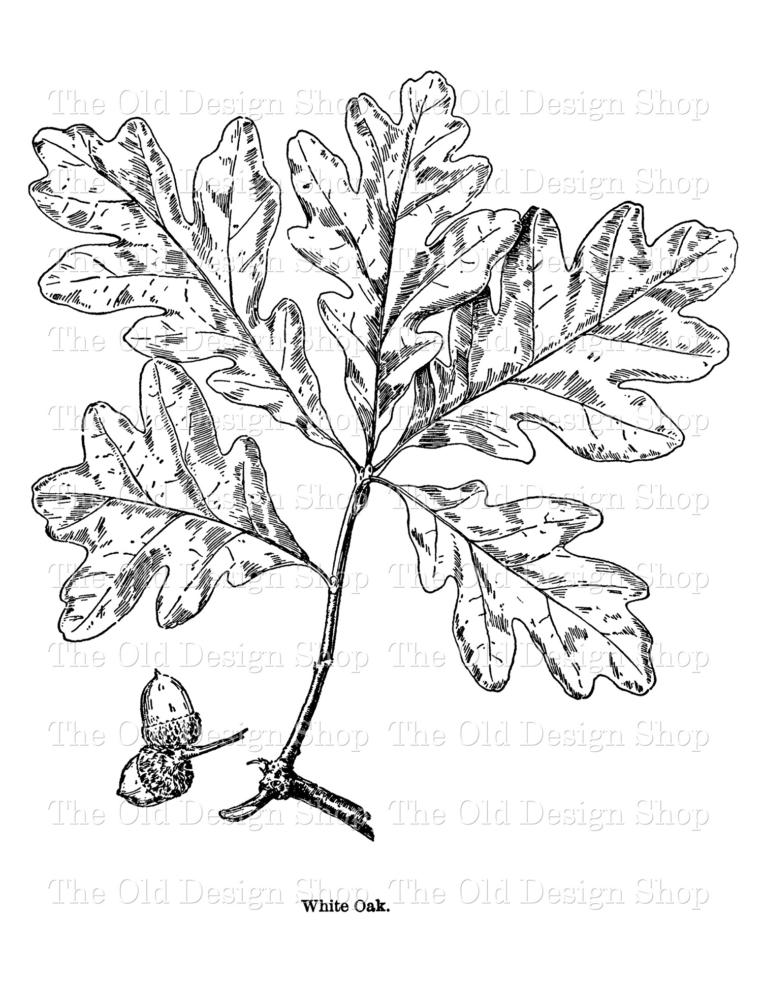 white oak leaf clip art