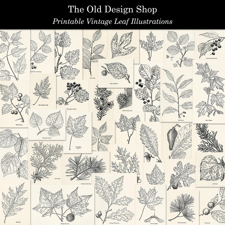 printable vintage leaf illustrations