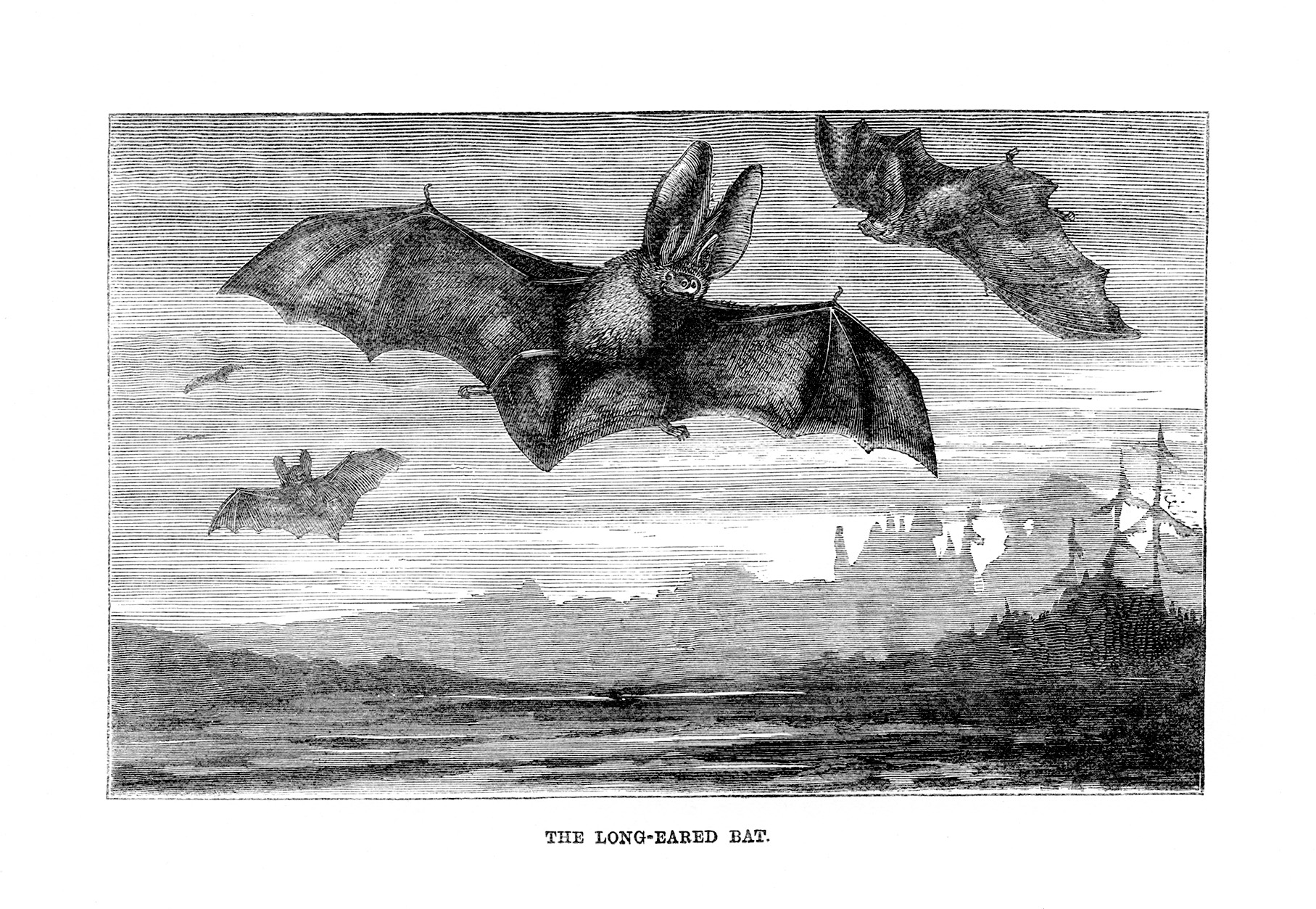 long eared bat vintage illustration