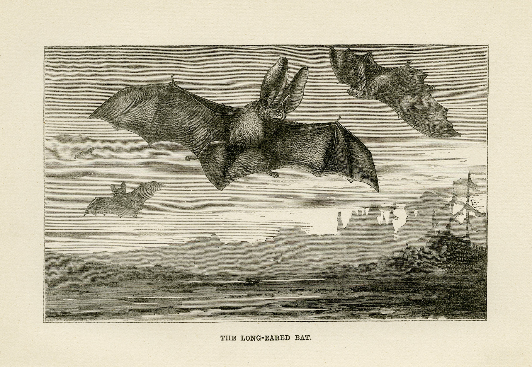 long eared bat illustration