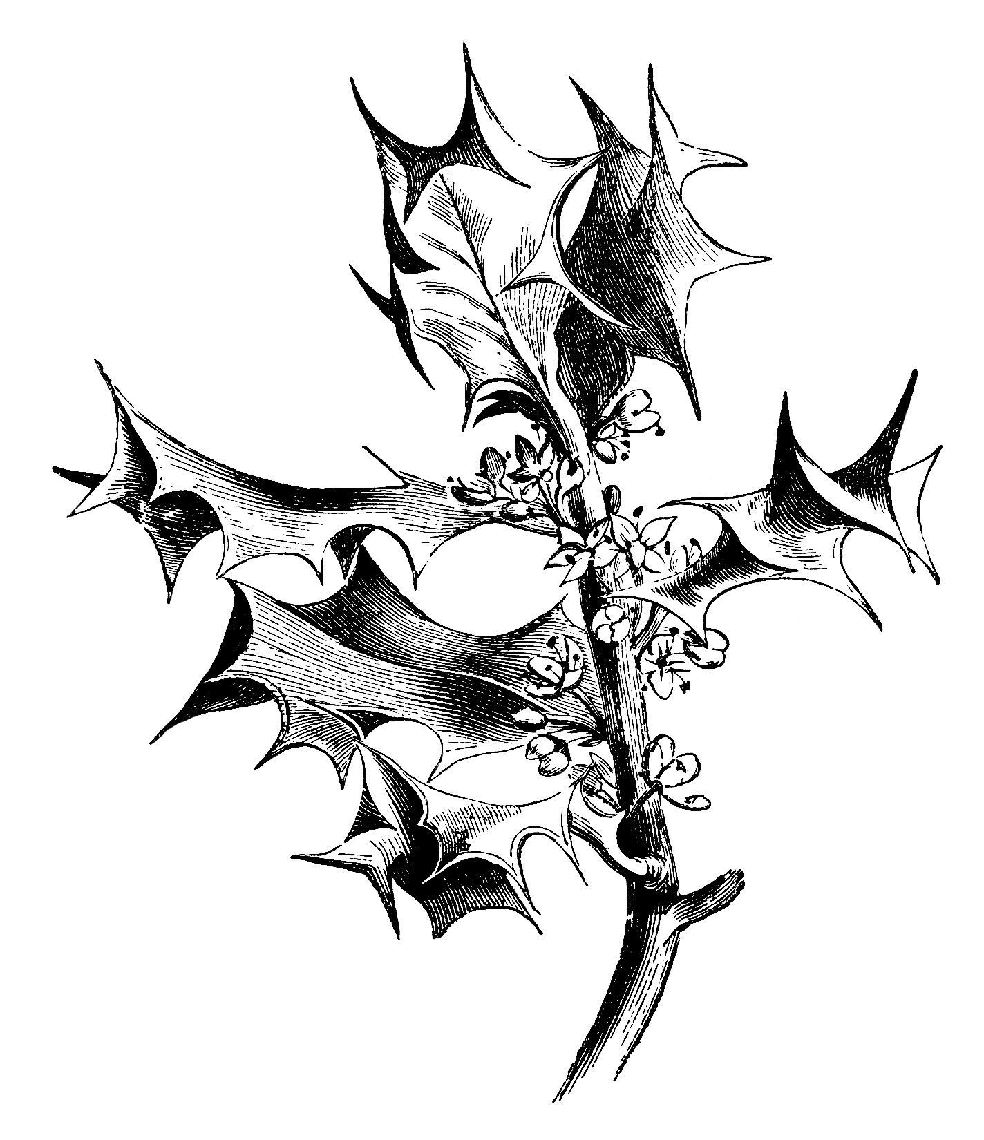 branch of holly free clip art