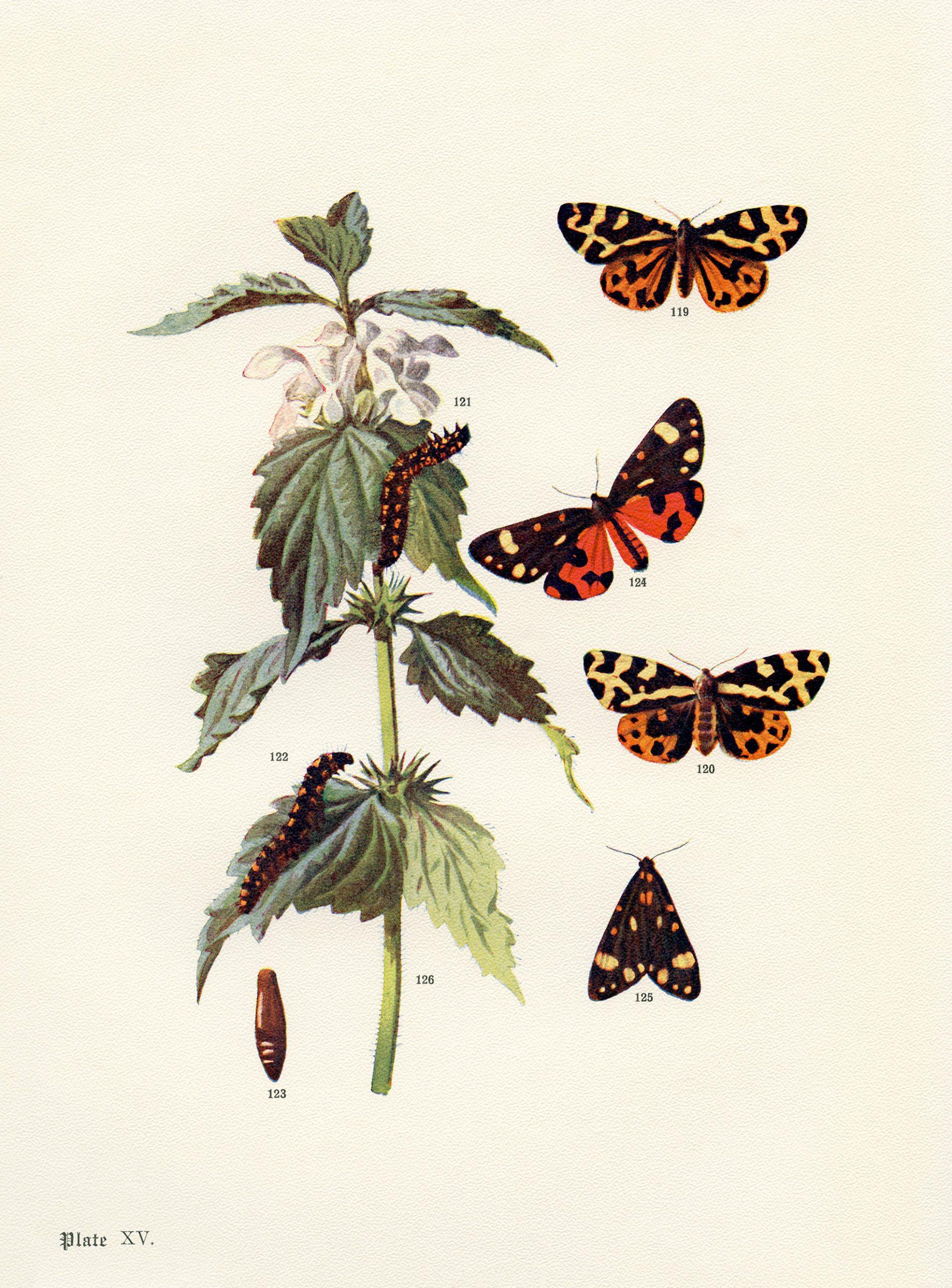 wood and scarlet tiger moths free printable illustration