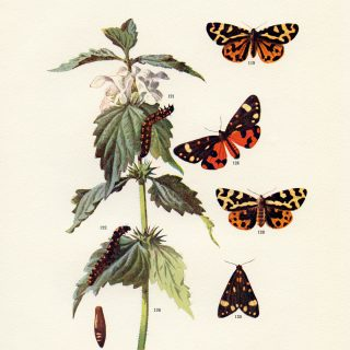 wood and scarlet tiger moths free printable illustration