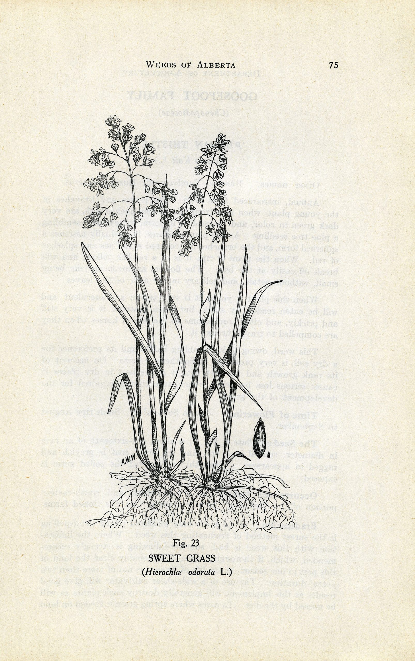 botanical book plates printable illustration