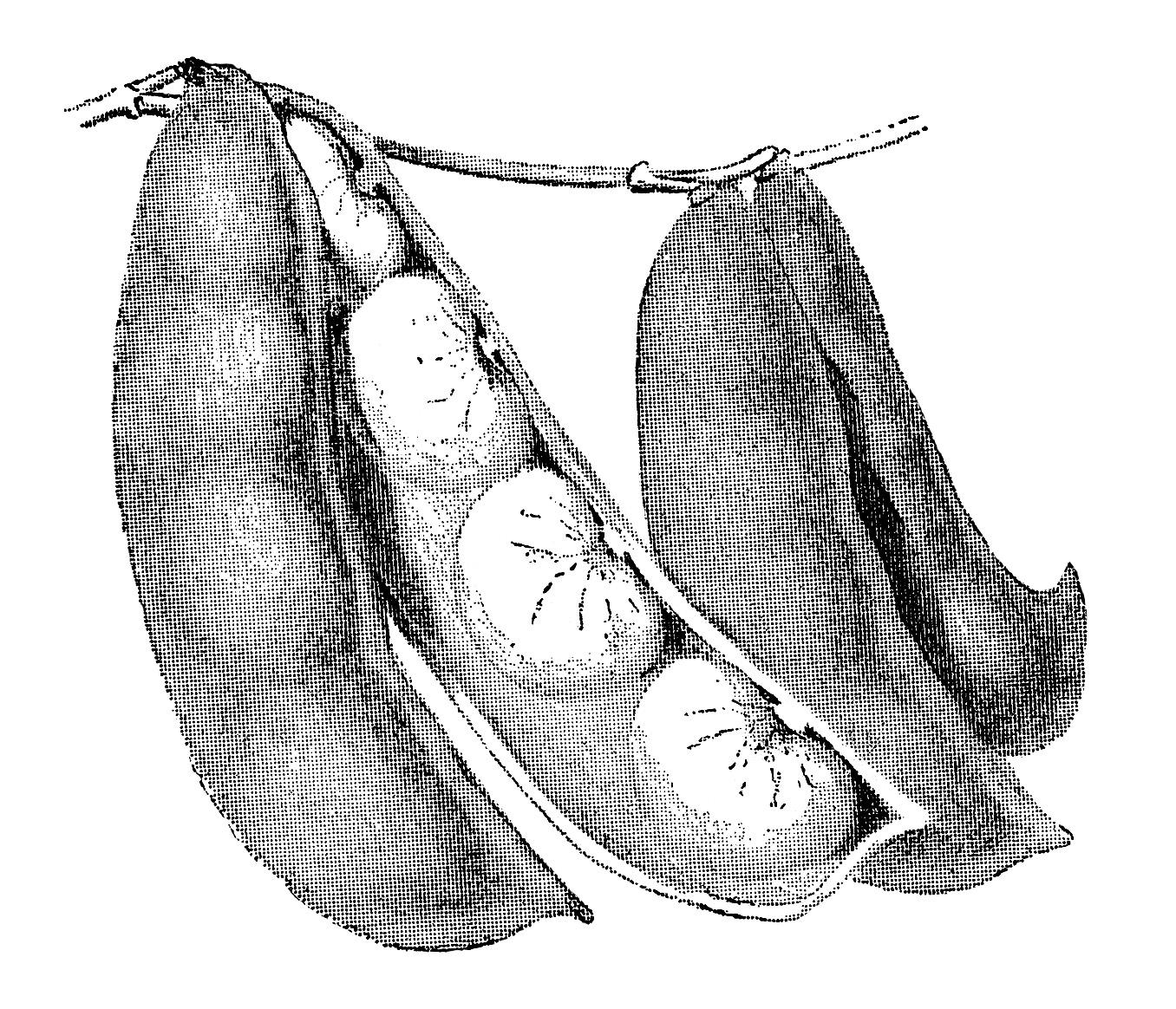 bush Lima beans clip art