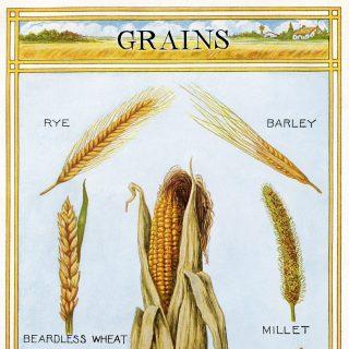 vintage illustration of grains digital download